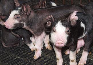 Black & White Piglets